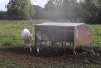 2 cows and shed