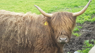 brown highland cow
