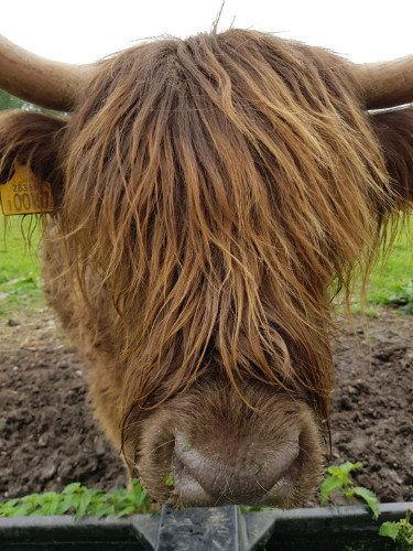brown highland cow closeup