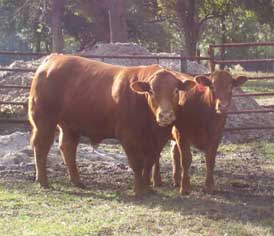 limousin bull and steer