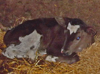 2 day old heifer