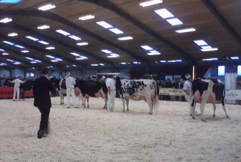 Cow show 2