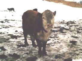 cow in snow, looking