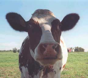 cow picture