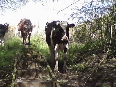 cows coming down